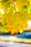 Φύλλα σφενδάμου πτώσης Στοκ φωτογραφία με δικαίωμα ελεύθερης χρήσης