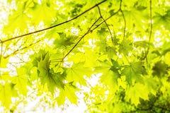 Φύλλα σφενδάμου στους κλάδους Στοκ Εικόνες