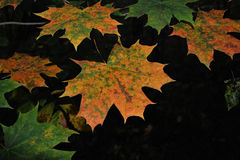 Φύλλα σφενδάμου στο δάσος φθινοπώρου Στοκ φωτογραφία με δικαίωμα ελεύθερης χρήσης