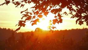Φύλλα σφενδάμου στο ηλιοβασίλεμα φιλμ μικρού μήκους