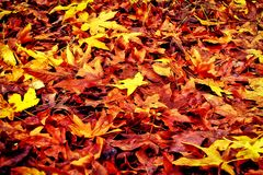 Φύλλα σφενδάμου στο πάρκο Στοκ Εικόνες
