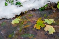 Φύλλα σφενδάμου φθινοπώρου που παγώνουν στο διαφανές ρεύμα πάγου Στοκ Εικόνες