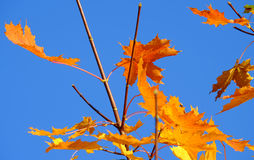 Φύλλα σφενδάμου φθινοπώρου σε ένα υπόβαθρο μπλε ουρανού Στοκ Εικόνες