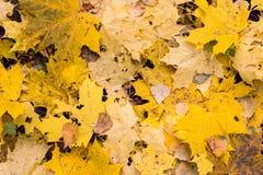 Φύλλα σφενδάμου φθινοπώρου Στοκ φωτογραφίες με δικαίωμα ελεύθερης χρήσης
