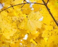 Φύλλα σφενδάμου φθινοπώρου Στοκ Φωτογραφία