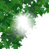 Φύλλα σφενδάμου Στοκ φωτογραφία με δικαίωμα ελεύθερης χρήσης