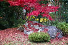 Φύλλα σφενδάμου Momiji Στοκ Εικόνες