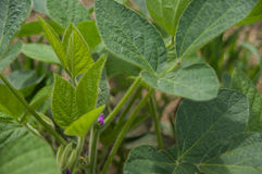 Φύλλα σόγιας στοκ φωτογραφία