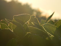 Φύλλα σόγιας Στοκ Εικόνα