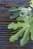 Φύλλα σύκων Στοκ εικόνα με δικαίωμα ελεύθερης χρήσης