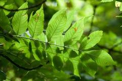 Φύλλα τέφρας με το πίσω φως Στοκ Φωτογραφία