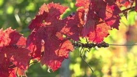 Φύλλα της αμπέλου, κόκκινο τέλη Οκτωβρίου απόθεμα βίντεο
