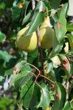 Φύλλα της ασθένειας φυτών Στοκ Εικόνες