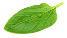 Φύλλα της Λευκής Βουσιγλωτίας Στοκ Φωτογραφίες
