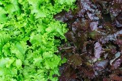 Φύλλα της σαλάτας Στοκ Φωτογραφία