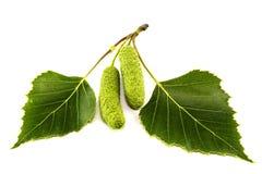 Φύλλα της σημύδας Στοκ Φωτογραφία
