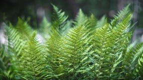 Φύλλα της φτέρης Στοκ Φωτογραφίες