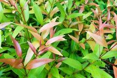 Φύλλα της Χριστίνα Στοκ φωτογραφία με δικαίωμα ελεύθερης χρήσης