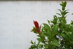 Φύλλα της Χριστίνα Στοκ Εικόνα