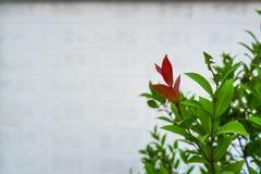 Φύλλα της Χριστίνα Στοκ Φωτογραφίες
