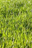 Φύλλα της χλόης και του σίτου με τη δροσιά Στοκ Εικόνες