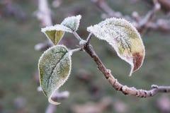 Φύλλα της Apple με τον παγετό Στοκ Εικόνες