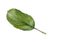 Φύλλα της Apple που απομονώνονται σε ένα άσπρο υπόβαθρο Στοκ εικόνες με δικαίωμα ελεύθερης χρήσης