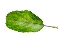 Φύλλα της Apple που απομονώνονται σε ένα άσπρο υπόβαθρο Στοκ Εικόνες