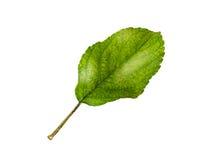 Φύλλα της Apple που απομονώνονται σε ένα άσπρο υπόβαθρο Στοκ φωτογραφίες με δικαίωμα ελεύθερης χρήσης