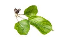 Φύλλα της Apple που απομονώνονται σε ένα άσπρο υπόβαθρο Στοκ Φωτογραφίες