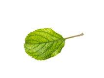 Φύλλα της Apple που απομονώνονται σε ένα άσπρο υπόβαθρο Στοκ Εικόνα