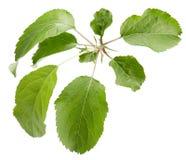 Φύλλα της Apple που απομονώνονται σε ένα άσπρο υπόβαθρο Στοκ Φωτογραφία