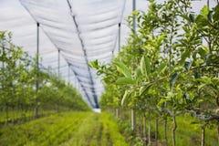 Φύλλα της Apple στον οπωρώνα μήλων Στοκ Εικόνες