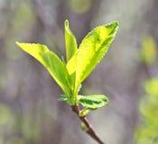 Φύλλα της Apple Στοκ Εικόνα