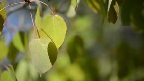 Φύλλα της Aspen που φυσούν στον αέρα απόθεμα βίντεο