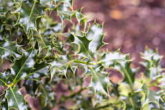Φύλλα της Holly Στοκ Εικόνες