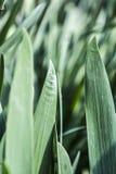 Φύλλα της Iris Στοκ εικόνες με δικαίωμα ελεύθερης χρήσης