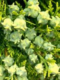 Φύλλα του δέντρου πεύκων ή της ασιατικής μακροεντολής Arborvitae Στοκ εικόνες με δικαίωμα ελεύθερης χρήσης