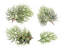 Φύλλα του δέντρου πεύκων Στοκ Εικόνες