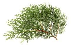 Φύλλα του δέντρου πεύκων Στοκ εικόνες με δικαίωμα ελεύθερης χρήσης