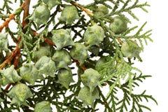 Φύλλα του δέντρου πεύκων Στοκ Φωτογραφίες