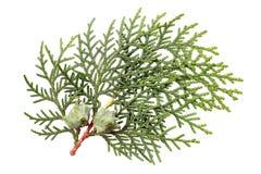 Φύλλα του δέντρου πεύκων Στοκ φωτογραφία με δικαίωμα ελεύθερης χρήσης