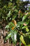 Φύλλα του δέντρου Gnetum gnemon, Melinjo Στοκ Εικόνες
