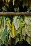 Φύλλα του καπνού Στοκ Φωτογραφία