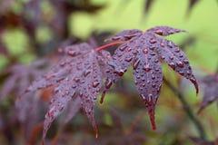 Φύλλα του κόκκινου σφενδάμνου Amur ιαπωνικός-σφενδάμνου με τις πτώσεις νερού Στοκ φωτογραφία με δικαίωμα ελεύθερης χρήσης