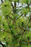 Φύλλα του πεύκου Στοκ εικόνες με δικαίωμα ελεύθερης χρήσης