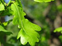 Φύλλα του δρύινου δέντρου Στοκ φωτογραφία με δικαίωμα ελεύθερης χρήσης