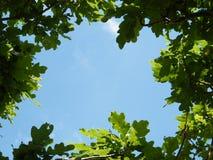 Φύλλα του δρύινου πλαισίου δέντρων Στοκ Φωτογραφία
