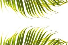 Φύλλα του φοίνικα που απομονώνεται στο άσπρο υπόβαθρο Κορυφή και κατώτατο σημείο του πλαισίου Στοκ φωτογραφία με δικαίωμα ελεύθερης χρήσης