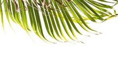 Φύλλα του φοίνικα που απομονώνεται στο άσπρο υπόβαθρο Κορυφή του πλαισίου Στοκ Φωτογραφίες